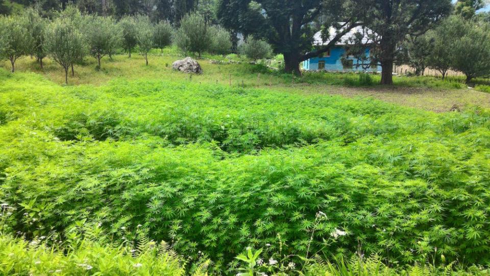 שדות קנאביס בכפר גראהן