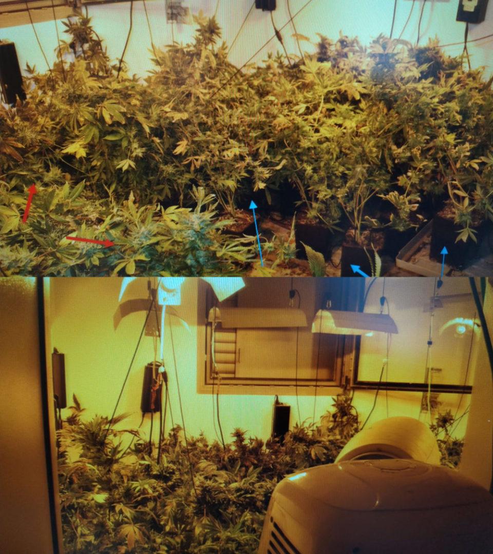 צמחי קנאביס נתפסו דירה חריש