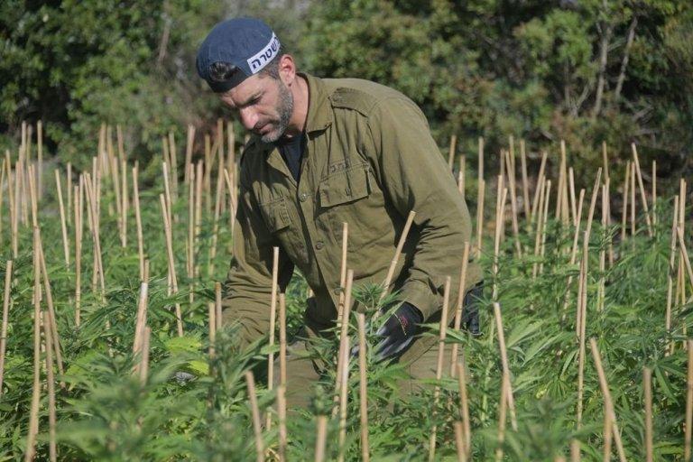 שדה קנאביס אלפי צמחים גיתה משטרה