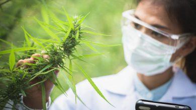 מדענית אשה בודקת צמח קנאביס