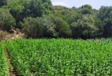 Photo of 7,000 שתילי קנאביס נתפסו בשני שדות באזור מטה יהודה