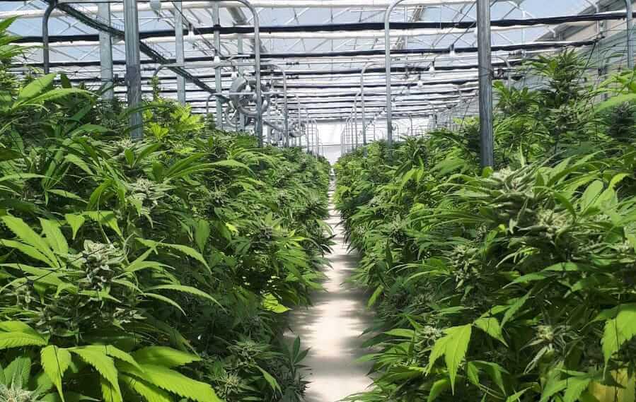 חוות הקנאביס של טוגדר