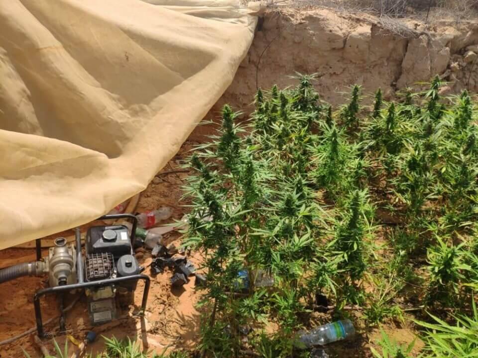משטרה תפיסה פשיטה אלפי צמחי קנאביס חממות נגב שטחי אש