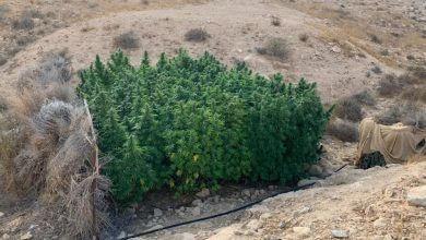 Photo of שוטרים שרפו 17,000 צמחי קנאביס במדבר