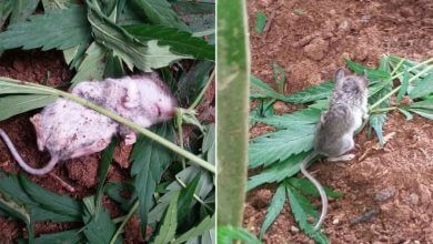 עכבר סטלן נתפס מנשנש קנאביס ומתעלף