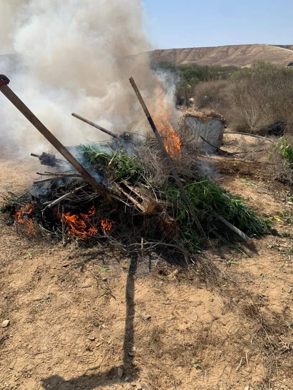 השמדת שריפה צמחי קנאביס