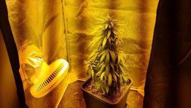 Photo of עציץ קנאביס וקססה נתפסו בדירה במושב, בן 23 נעצר