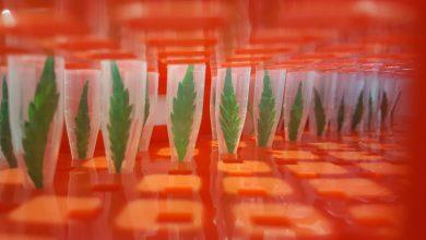 עלעלי קנאביס במבחנות - CGF זיהוי זני קנאביס לפי גנטיקה DNA
