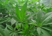 צמח קנאביס (צילום: נורית שלו, מכון וולקני)