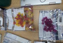 סוכריות קנאביס THC, צמחי קנאביס, עוגיות משטרה