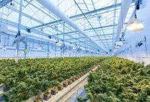 חוות גידול קנאביס